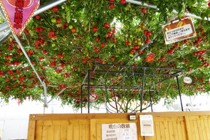 トマトの木 イタリアンビュッフェ とまとの森 南房総道楽園 飲食業ヤマトの関連会社たんぽぽ農園が運営する「とまとの楽園」はビニールハウスで2m超の巨大なトマトの木を水耕栽培していて、実がなる様子を見学することができる観光施設です