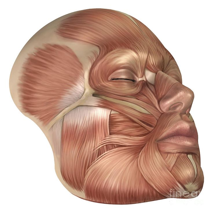 Anatomy Of Human Face Muscles Digital Art - Anatomy Of Human Face Muscles Fine Art Print