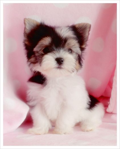 Biewer Terrier Puppies for Sale in South Florida