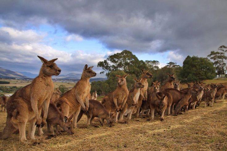 The mob at Bonorong Wildlife Sanctuary. #kangaroos #wildlife #tasmania #Discovertasmania Image Credit: Kathryn Leahy Travel Photography