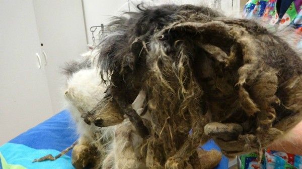 Severely matted dog rescued from Buffalo basement: Owners charged with cruelty-slide0