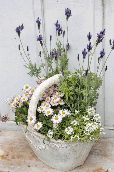季節の花寄せ植え ラベンダー&イングリッシュデージー&スーパーアリッサム バスケット型ナチュラルテラコッタ | 観葉植物・ガーデニング雑貨・花寄せ植えの通販 - サザンフィールド