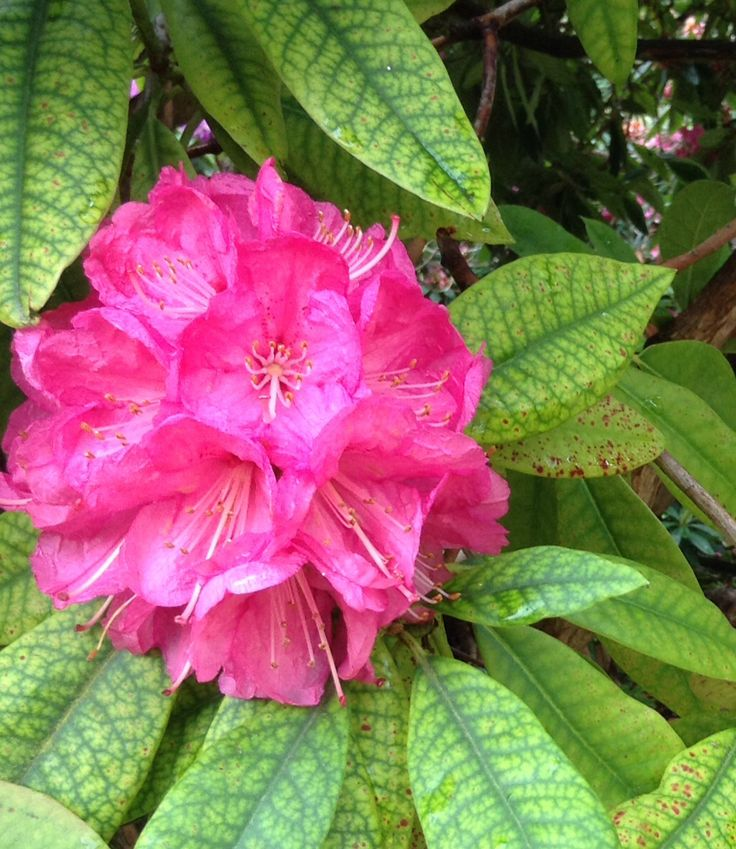 Rhododendron at Killerton House, Exeter