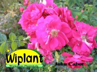 John Cabot skall nå en höjd på ca 2-3 meter men hos oss är den betydligt lägre.  Vi har sett exemplar på  1,2-1,8 meter och väldigt ofta buskliknande exemplar. Sorten är mycket blomvillig och blommorna har en diameter på ca 7 cm. Härdig till USDA zone 3 (-35C) och hos oss har den klarat sig utmärkt.