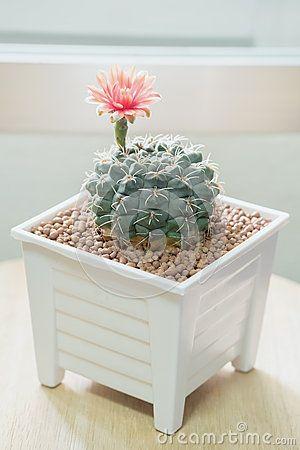 Цветок кактуса Gymnocalycium
