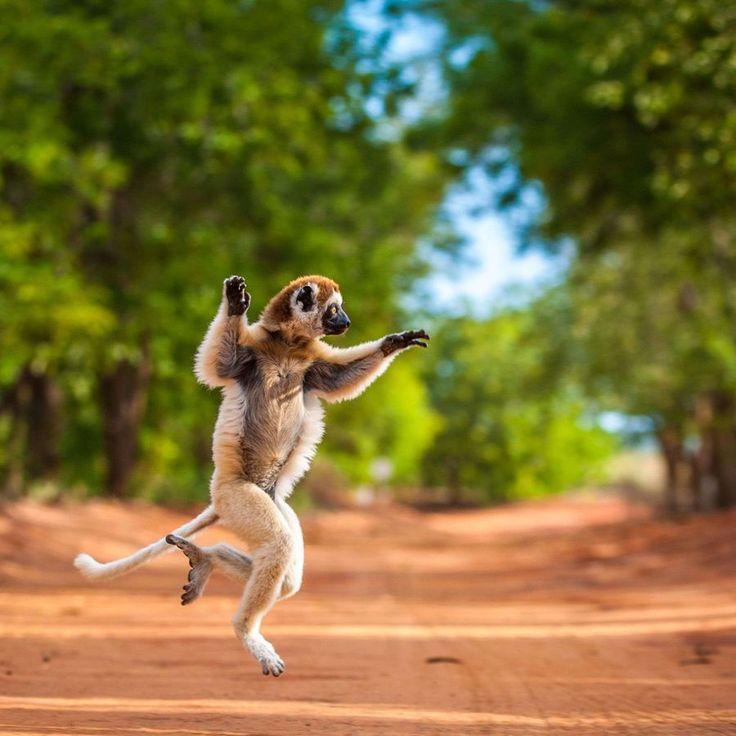 Sifaka, le lémurien danseur de Madagascar                                                                                                                                                                                 Plus