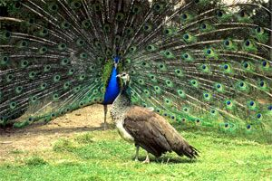 Peacock displays to peahen