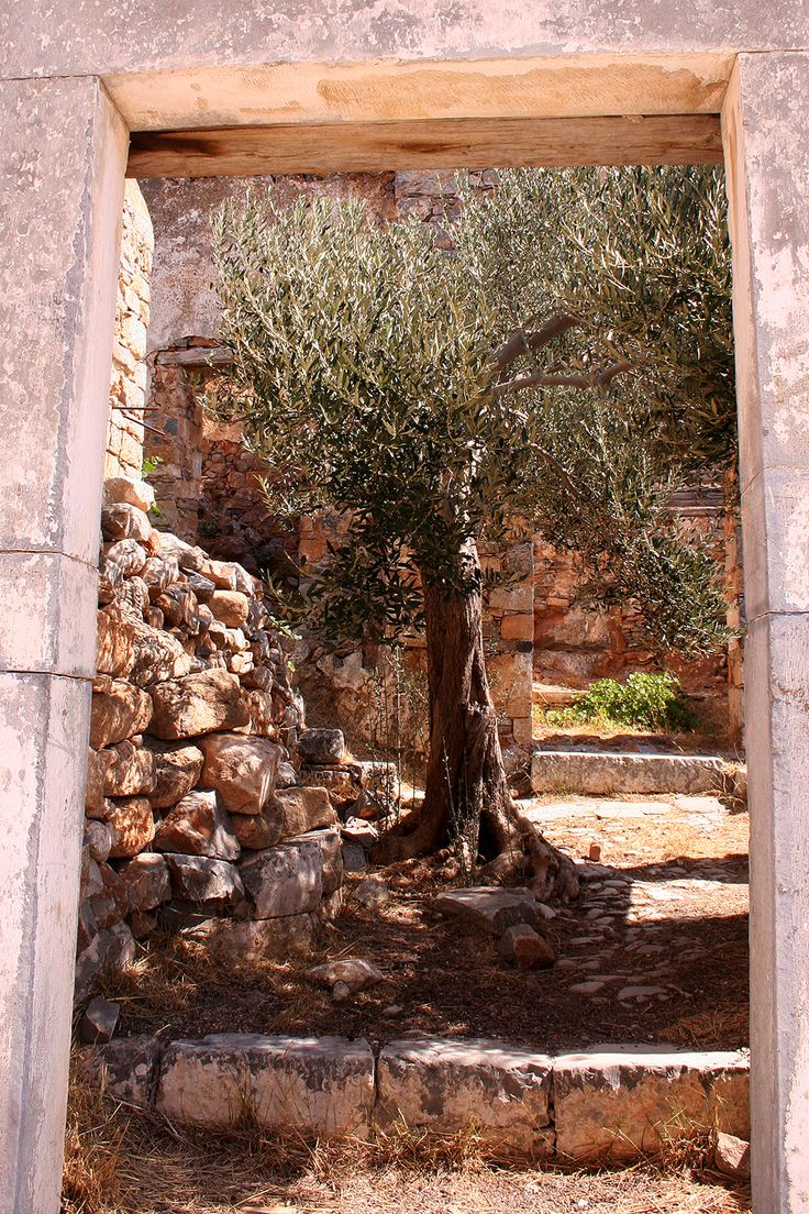 Olive tree in a ruined house, Kalidon (Spinalonga)