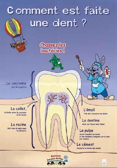 Kit pédagogique sur les dents