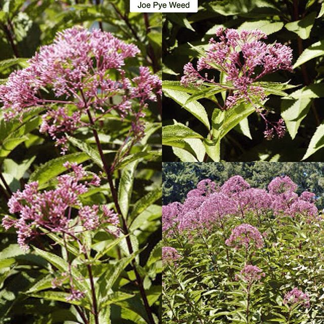 Joe Pye Weed Eutrochium purpureum (formerly Eupatorium purpureum) Type: Perennial Exposure: Sun / Part Shade Water: Regular to Ample This big impressive plant is a relative of the sunflower and is native to much of the eastern US. At home in meadow settings and perennial borders it creates a bold statement with hollow stems that can reach a whopping 9ft (2.7m) tall by 3ft (90cm) wide. Toothed leaves that can reach up to a foot (30cm) long line these stems and smell a bit like vanilla when…