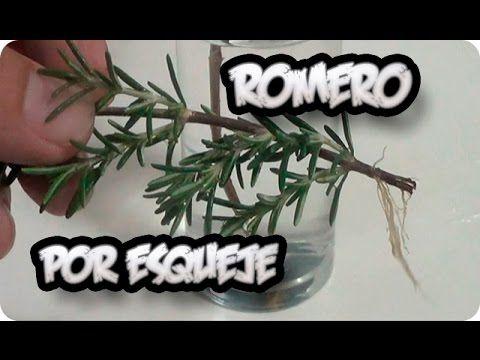 Como Reproducir Una Planta De Romero Por Esqueje || La Huertina De Toni - YouTube