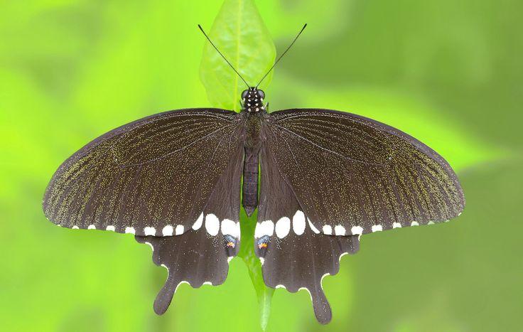 Indian Common Mormon (Male) - Papilio polytes romulus