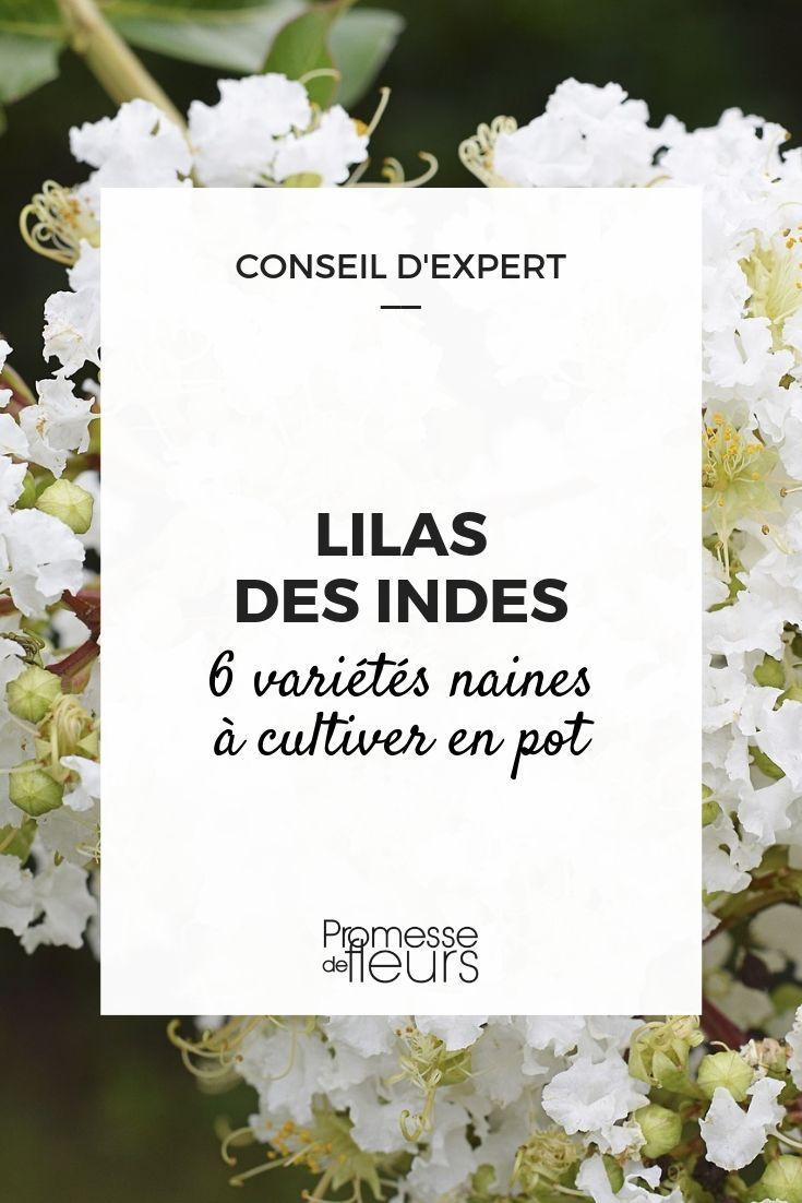 Lilas des Indes, lagerstroemia : 6 variétés naines parfaites pour los angeles tradition en pot