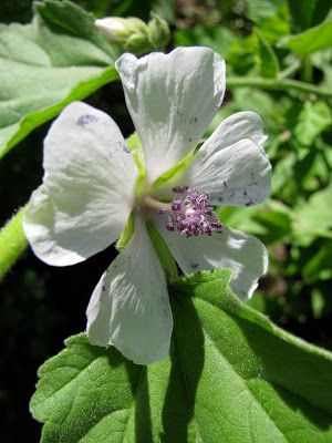 Marshmallow herb is specific for many common ailments, yet has a complexity that renders it useful for a myriad of problems.