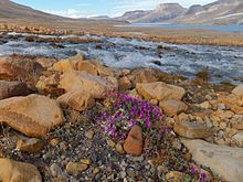 Ellesmere Island ~ River Beauty flowers (Chamerion latifolium) in foreground, with meltwater stream and Ekblaw Lake in background. Quttinirpaaq National Park. July 2011 (Wikipedia)
