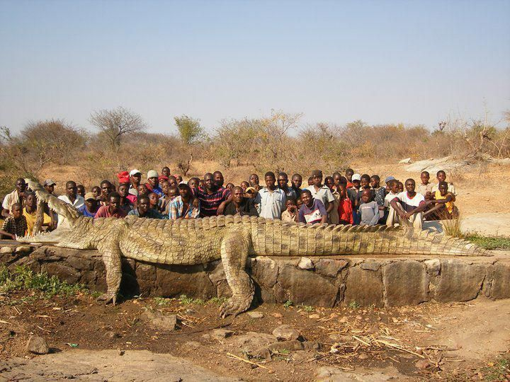 WOW! A 22-foot, 2,500 pound alligator found in the Niger River in Africa. No wonder they were losing Villagers so often!