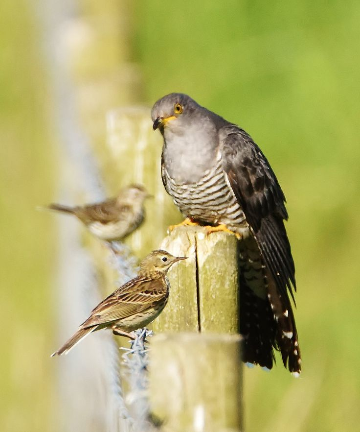 https://flic.kr/p/upnm2N | Cuckoo/Meadow Pipit | Meadow Pipits trying to see off a Cuckoo.
