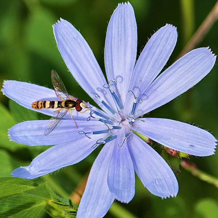 Sul fiore di cicoria