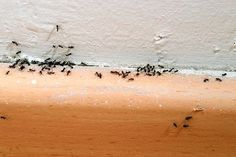 Summer is one of the best times of the year. But with summer goes an obnoxious amount of household pests, especially ants. Lets face it, nothing kills a mood quite like opening the sugar container and seeing a group of ants feasting away. Conquer the army of... #ants #cornstarch #naturalremedies