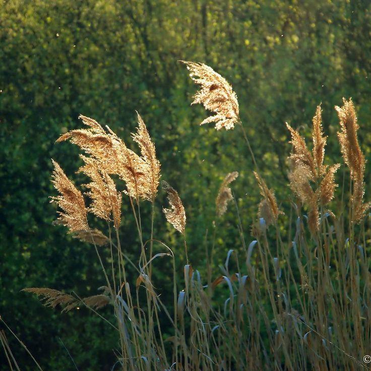 Травы на закате    #фото_юлии_вихаревой #природа  #nature #landscape . #Юлия_Вихарева #стихиолюбви #instagram #литература #поэзия