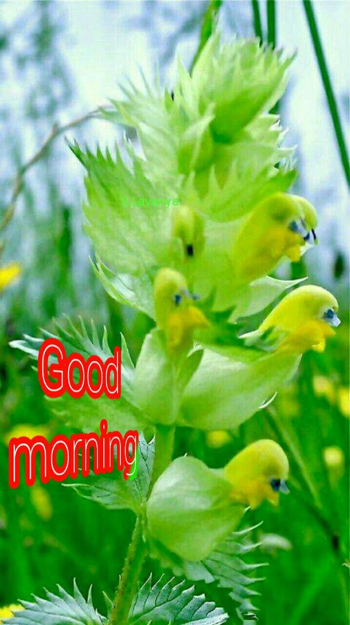 Good Morning Rose S Lavanya Orchid Flower Flora Flowers Good Morning Roses