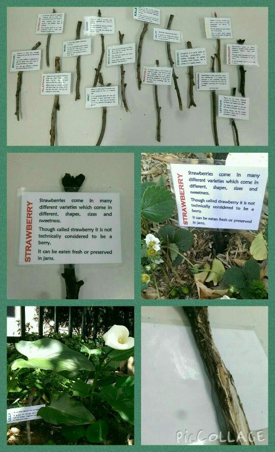 Garden plant stakes for learning! Typed up the plants in the garden with some fun facts about them or how to use the plant, then laminated and used a hot glue gun to glue them to a stick. Then got the kids to have a plant hunt and find where they went. Great for school kids or young ones for learning