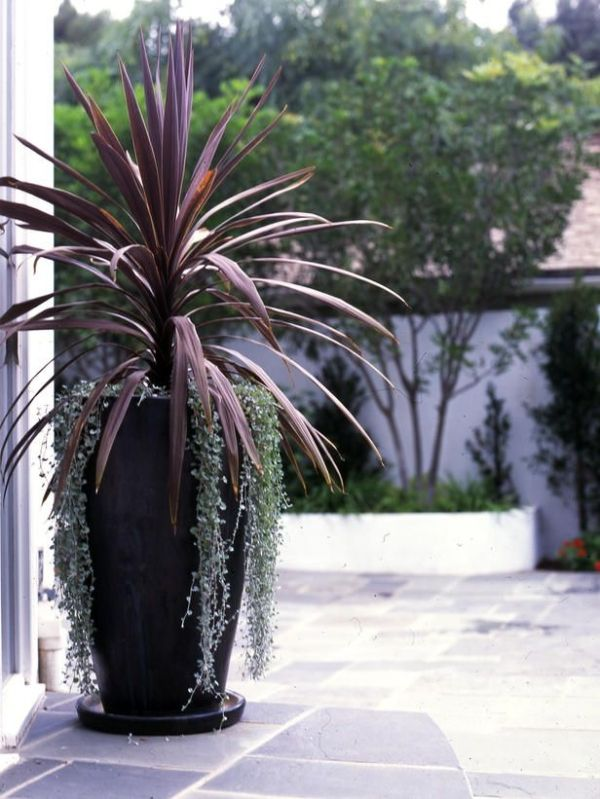 Cordyline. Red Spike. Great as height for a container. Does well in sun or shade. by shauna