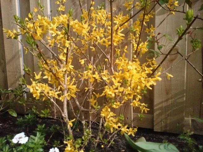 Een forsythia fleurt met zijn zonnige gele bloemen menig voorjaartuintje op. Wil je hem mooi compact houden, snoei de takken dan na de bloei een stukje terug. De forsythia wordt door sommige mensen een beetje verguisd, omdat hij zo vaak wordt aangeplant. Maar deze heester verrast ons al vroeg in het seizoen met zijn vrolijke gele bloemetjes, op een moment dat we zo'n zonnig kleurtje in de tuin heel goed kunnen gebruiken. Bij een forsythia kan de struik snel wat slordig van vorm worden, met…