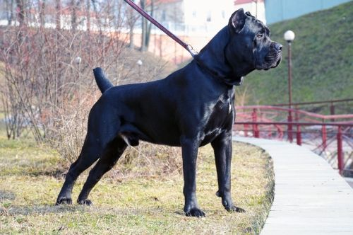 Understanding the Cane Corso Temperament