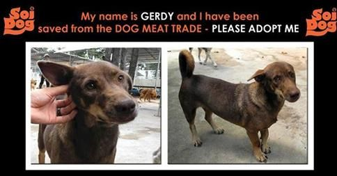 I was stolen from the streets of northern Thailand due to the illegal dog meat trade...  My name is Gerdy and I am about 1-2 years old.  Please email cristy@soidog.org to ADOPT me.  Taken away from my family and crushed into a cage with many other dogs and driven away on a truck to cross the border. I could not understand why I was in this cage and why these people were doing this to me.  http://www.soidog.org/en/adoptions/adoption-questionnaire/