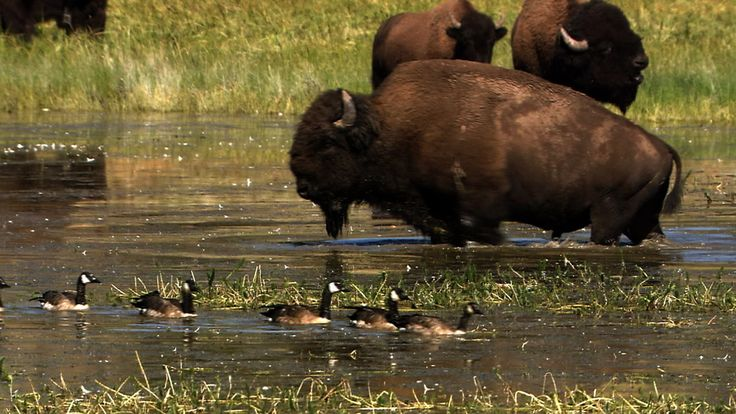 50 million bison once roamed the American Prairie before being hunted to the brink of extinction. Today this keystone species is making a comeback.