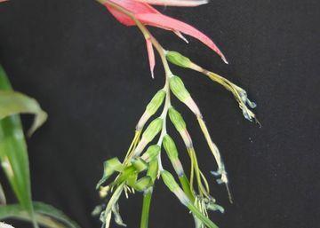 Billbergia nutans – Hortipendium