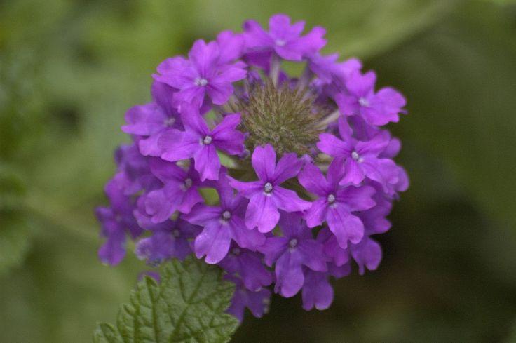 category Botanical photos http://earth66.com/botanical/verbena-homestead-purple/