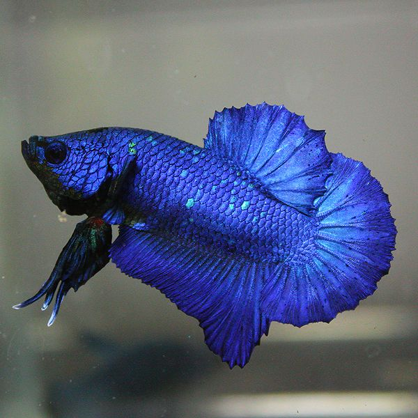 1000 images about betta buddy on pinterest betta tank for Buy betta fish