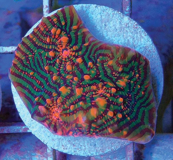 CONTEST - submit name ideas for this new CHALICE from A & M Aquatics - you could win this frag of the new coral!