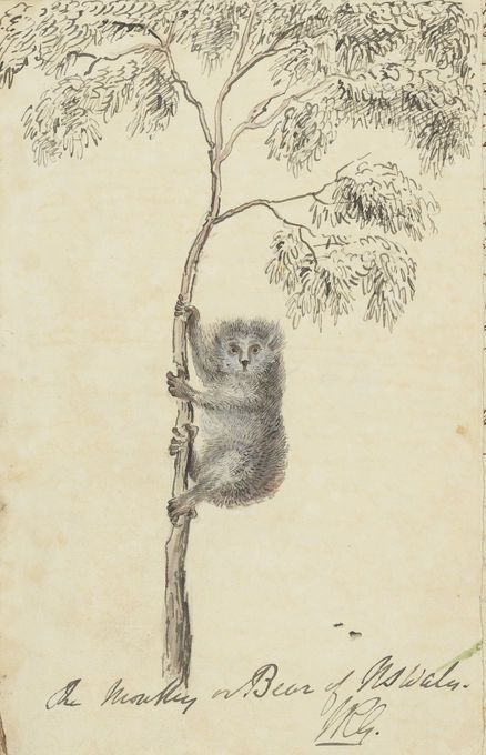 William Govett's depiction of a koala, entitled 'A monkey or bear of N. S. Wales'. From William Govett notes and sketches taken during a surveying Expedition in N. South Wales and Blue Mountains Road by William Govett on staff of Major Mitchell, Surveyor General of New South Wales, 1830-1835. Mitchell Library, State Library of New South Wales: http://www.acmssearch.sl.nsw.gov.au/search/itemDetailPaged.cgi?itemID=824687