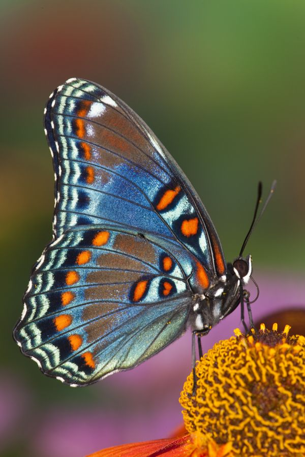 The Red-spotted Purple Butterfly, Limenitis arthemis, photography by: Darrell Gulin