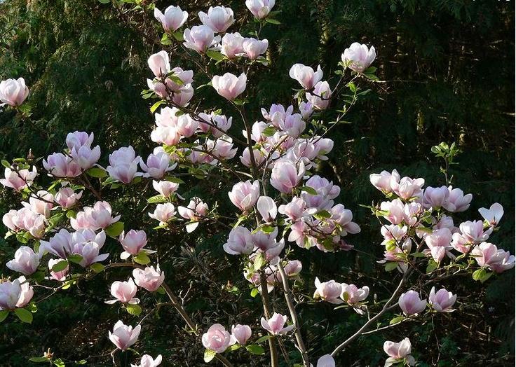 Магнолия (Magnolia)    Есть opadlivo магнолии, цветущего дерева.Ранние весенние цветы, цветы крупные и ароматные.Тогда дерева снимают.