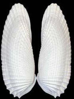 Resultado de imagen de seashell