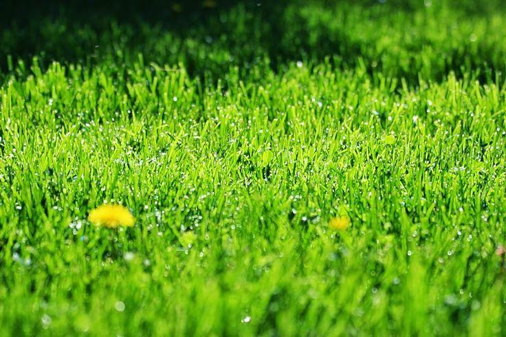 voikukka, aamukaste, ruoho on vihreää,