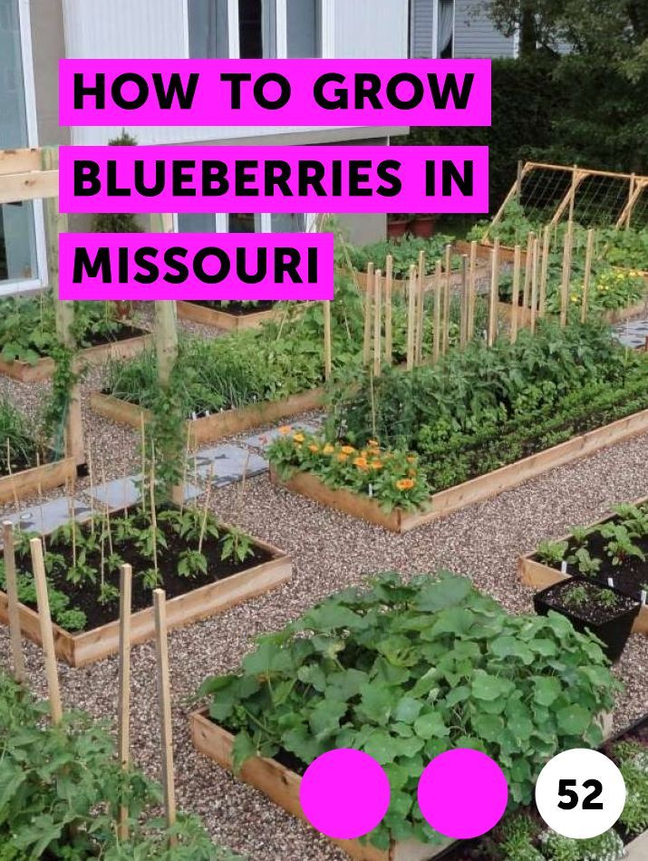 How To Grow Blueberries In Missouri Growing Vegetables Winter