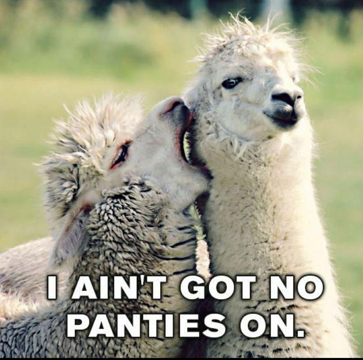 Cute Alpaca Wallpaper 43 Best Drama Llama Images On Pinterest Llama Llama
