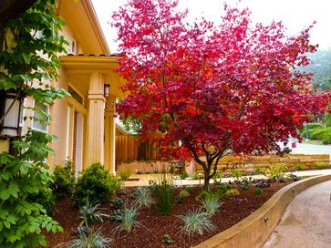 Bloodgood Japanese maple. USDA zones: 5 to 8. Height: 15-25' Color: Deep red in spring and summer, turns scarlet in fall; deciduous. Light requirement: Full sun to partial shade. Water requirement: Moderate to regular.