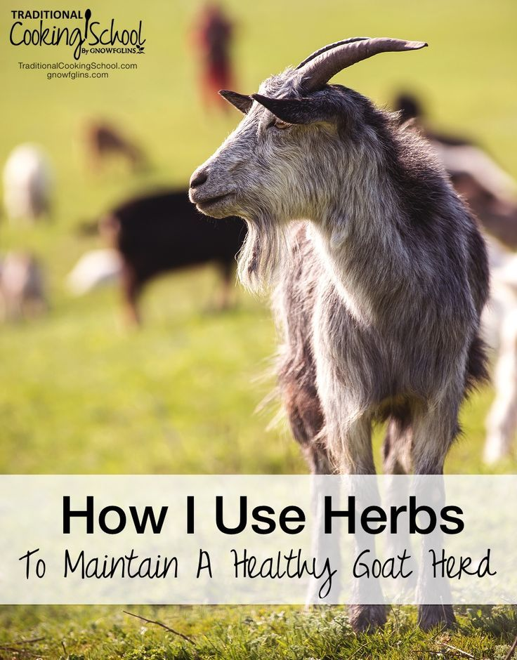 Maintain Goat Herd With Herbs Traditional Cooking School GNOWFGLINS main