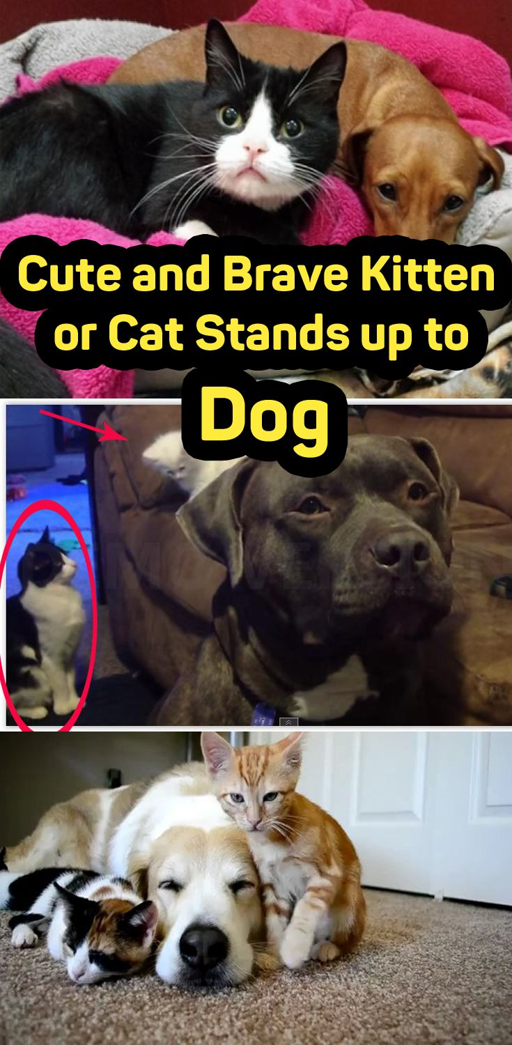Cute and Brave Kitten or Cat Stands up to Dog  #cat #dog #kitten