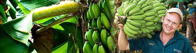 Meet The Mackays and their #Aussie #Bananas from far north #Queensland. #AussieFarmers #Farmers #Fruit