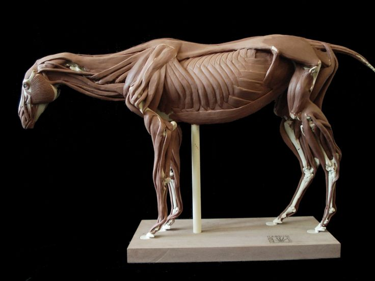The 107 best Horse anatomy images on Pinterest | Horse anatomy ...