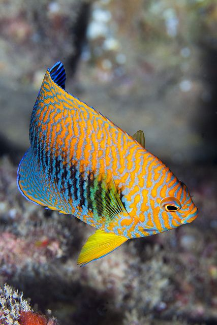 I finally found a decent picture of a Potters Angelfish - off Oahu Hawaii