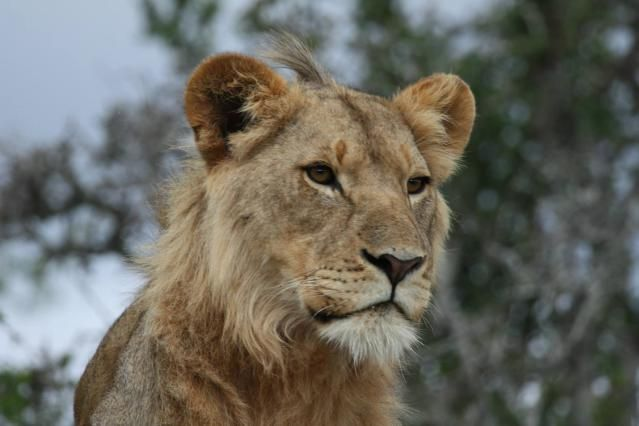 Where to See Lions in Africa