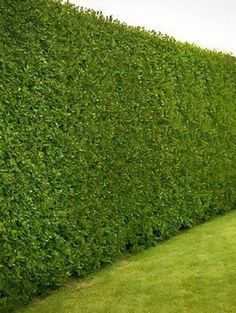 Buy Leyland Cypress privacy trees online, arrive alive guarantee. FREE Shipping on ALL Orders over $99. Immediate Delivery.